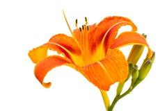 белизна путя лилии клиппирования изолированная цветком Стоковая Фотография RF
