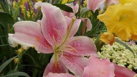 белизна путя лилии клиппирования изолированная цветком Стоковые Фотографии RF