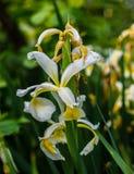 белизна путя лилии клиппирования изолированная цветком Стоковое Изображение RF