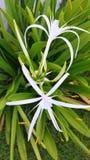 белизна путя лилии клиппирования изолированная цветком стоковое фото rf