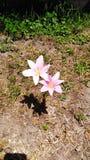 белизна путя лилии клиппирования изолированная цветком стоковые фото