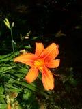 белизна путя лилии клиппирования изолированная цветком Стоковая Фотография