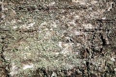 белизна расшивы изолированная березой Стоковая Фотография