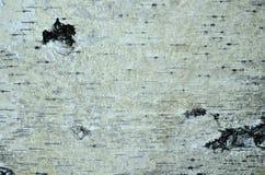 белизна расшивы изолированная березой Стоковые Фотографии RF
