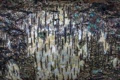 белизна расшивы изолированная березой Стоковое Изображение