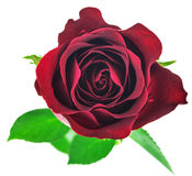 белизна розы красного цвета предпосылки изолированная цветком стоковое фото rf