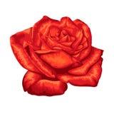 белизна розы красного цвета предпосылки красивейшая изолированная Стоковое Фото