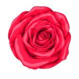 белизна розы красного цвета предпосылки красивейшая изолированная Стоковое фото RF