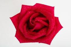 белизна розы красного цвета предпосылки Стоковое Фото