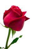 белизна розы красного цвета предпосылки Стоковое Изображение