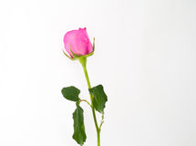 белизна розы пинка предпосылки одного Стоковые Изображения