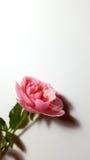 белизна розы пинка предпосылки стоковые изображения rf