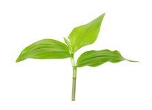 белизна ростка предпосылки зеленая Стоковые Фотографии RF
