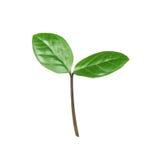 белизна ростка предпосылки зеленая Стоковые Фото