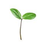 белизна ростка предпосылки зеленая Стоковая Фотография