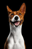 Белизна родословной с красной собакой Basenji на изолированной черной предпосылке Стоковые Фото