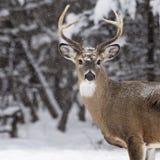 белизна самеца оленя замкнутая оленями Стоковые Фотографии RF