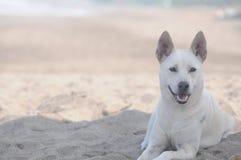 белизна собаки лежа стоковая фотография rf