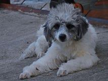 белизна собаки сидя Стоковая Фотография RF