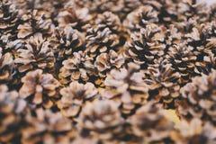белизна сосенки предмета предпосылки изолированная конусами Стоковая Фотография
