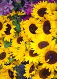 белизна солнцецвета изоляции цветка Стоковое фото RF
