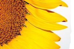 белизна солнцецвета космоса экземпляра предпосылки Стоковое Изображение RF