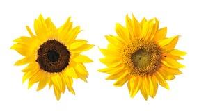 белизна солнцецвета космоса экземпляра предпосылки Стоковое Фото