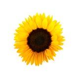 белизна солнцецвета космоса экземпляра предпосылки Стоковые Изображения