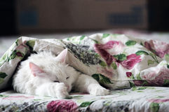 белизна спать кота Стоковое Изображение RF