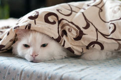 белизна спать кота Стоковое Фото