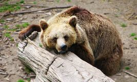 белизна спать медведя предпосылки Стоковое Изображение RF