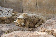 белизна спать медведя предпосылки Стоковые Изображения