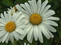 Белизна 2 стоцвета Стоковые Фотографии RF