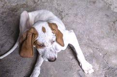 Белизна с каштановый четырёхмесячный лежать указателя щенка Стоковые Изображения RF