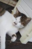 Белизна с спать кота коричневых пятен Стоковая Фотография RF