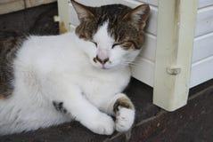 Белизна с спать кота коричневых пятен Стоковые Изображения