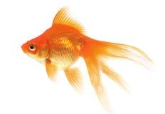 белизна тени предпосылки изолированная goldfish Стоковое Изображение