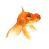 белизна тени предпосылки изолированная goldfish Стоковые Изображения
