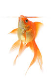 белизна тени предпосылки изолированная goldfish Стоковые Изображения RF