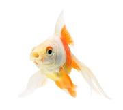 белизна тени предпосылки изолированная goldfish Стоковые Фото