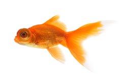 белизна тени предпосылки изолированная goldfish Стоковое фото RF