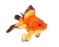 белизна тени предпосылки изолированная goldfish Стоковые Фотографии RF