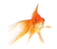 белизна тени предпосылки изолированная goldfish Стоковая Фотография
