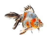 белизна тени предпосылки изолированная goldfish Стоковое Изображение RF