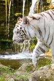белизна тигра Бенгалии Стоковые Фотографии RF