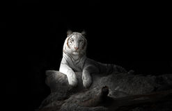 белизна тигра Бенгалии Стоковое Изображение