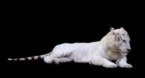 Белизна тигра с черной предпосылкой Стоковая Фотография RF