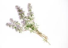 белизна тимиана иллюстрации предпосылки цветя Стоковое Изображение RF