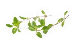белизна тимиана предпосылки свежая Стоковые Фото