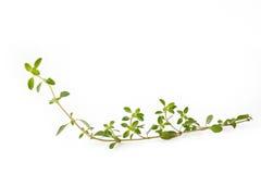белизна тимиана цветка предпосылки зацветая Стоковая Фотография RF